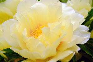60084296 - the big beautiful full-blown yellow flower peony close up